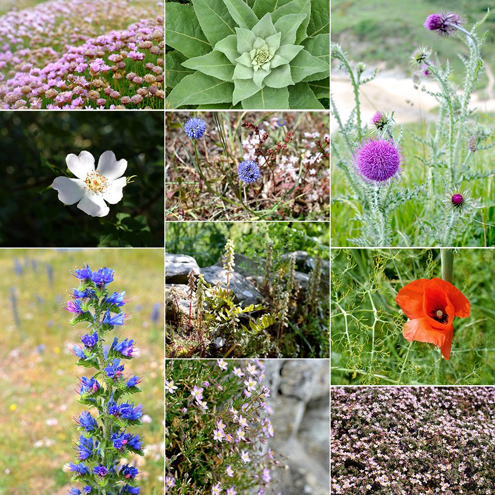 fleurs-belle-ile